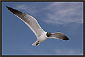 Laughing Gull 1743
